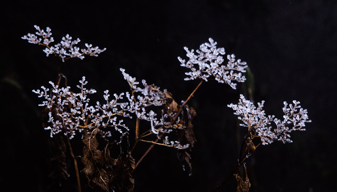flower of ice
